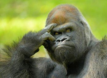 gorilla-obeziana-samets-dumu-dumaiushchii-byt-ili-ne-byt-por